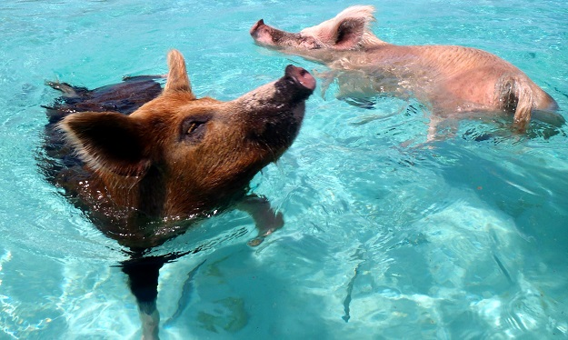 By cdorobek (Flickr: 08.2012 Vorobek Bahamas - swimming pigs) [CC BY 2.0], via Wikimedia Commons