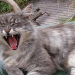 Yawning_Norwegian_Forest_Cat
