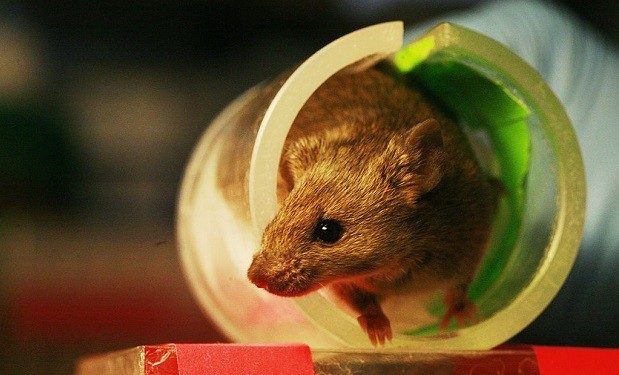 Lab_mouse_mg_3294