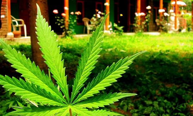Marijuana_leaf
