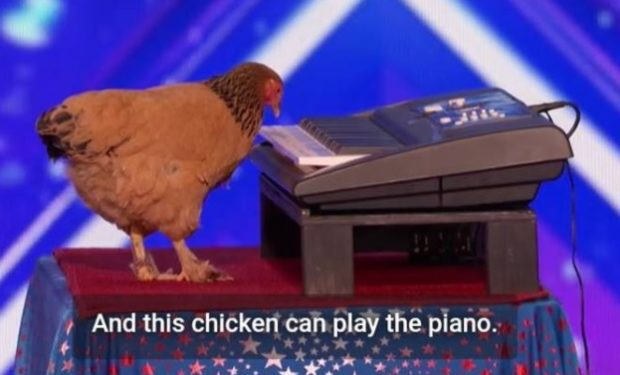 Chicken on AGT NBC