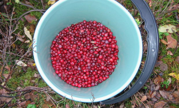 Cranberries_in_a_bucket