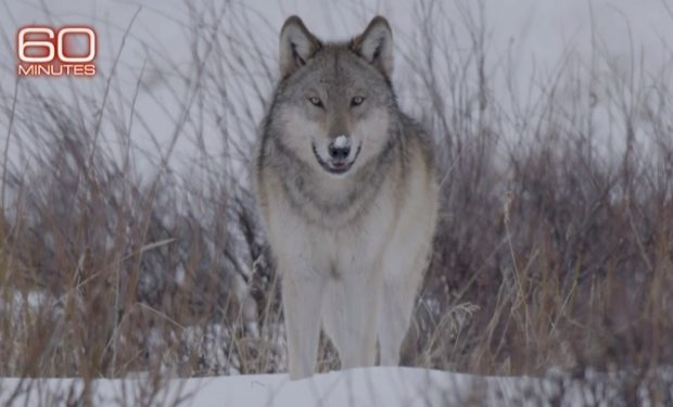 WOLF in Yellowstone, 60 Minutes, CBS